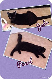 Domestic Mediumhair Kitten for adoption in Newnan, Georgia - Pearl