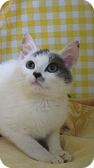 Domestic Shorthair Kitten for adoption in Pueblo West, Colorado - Victor