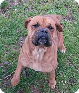 Boxer/Mastiff Mix Dog for adoption in North Wales, Pennsylvania - Murdoch