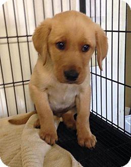 Labrador Retriever Mix Puppy for adoption in Newburgh, Indiana - Chico