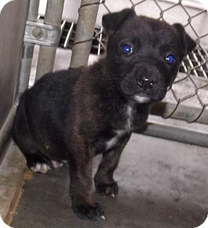 Bulldog/Hound (Unknown Type) Mix Puppy for adoption in Mount Holly, New Jersey - Turbo