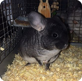Chinchilla for adoption in Hammond, Indiana - 3 month black velvet male