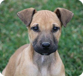 Mastiff/German Shepherd Dog Mix Puppy for adoption in Liberty Center, Ohio - Briggs