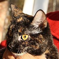 Domestic Mediumhair Cat for adoption in Lovingston, Virginia - Attie (FC=sa)