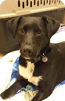 Labrador Retriever/Border Collie Mix Dog for adoption in Alpharetta, Georgia - Chesapeake