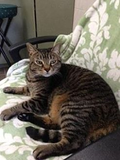 Domestic Shorthair Cat for adoption in New York, New York - Daisy (Westhampton)