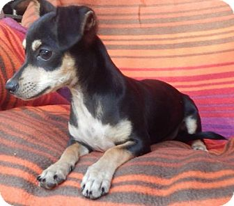 Chihuahua/Dachshund Mix Puppy for adoption in Old Fort, North Carolina - Jaco Bean