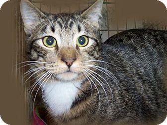Domestic Mediumhair Cat for adoption in Walnut Creek, California - Miki