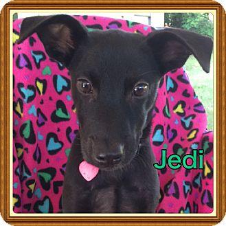 Labrador Retriever Mix Puppy for adoption in Brattleboro, Vermont - Jedi