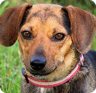 "Dachshund/Beagle Mix Dog for adoption in Wakefield, Rhode Island - SARAH(OUR TINY ""DOXLE""!!!"