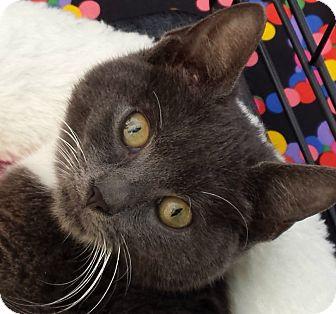 Domestic Shorthair Kitten for adoption in Brooklyn, New York - Enid