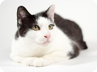 Domestic Shorthair Cat for adoption in Kingston, Ontario - Penny