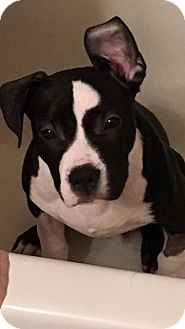 American Pit Bull Terrier Puppy for adoption in Anchorage, Alaska - Kane