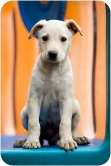 Labrador Retriever/German Shepherd Dog Mix Puppy for adoption in Portland, Oregon - Zeus