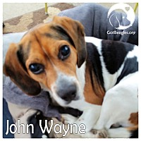 Adopt A Pet :: John Wayne - Chicago, IL