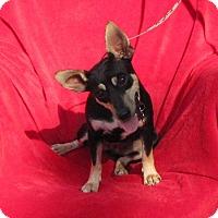 Terrier (Unknown Type, Medium)/Manchester Terrier Mix Dog for adoption in Springfield, Virginia - Sally