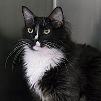 Adopt A Pet :: Osito - Houston, TX