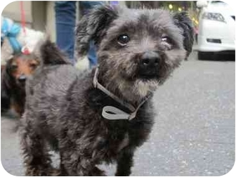 Poodle (Miniature)/Shih Tzu Mix Dog for adoption in Long Beach, New York - Libby