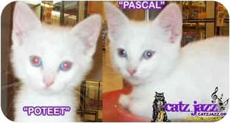 Domestic Shorthair Kitten for adoption in Cedar Creek, Texas - Pascal & Poteet