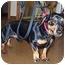 Photo 1 - Dachshund Dog for adoption in Naugatuck, Connecticut - Beazley