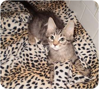 Maine Coon Kitten for adoption in Cocoa, Florida - MIKEY