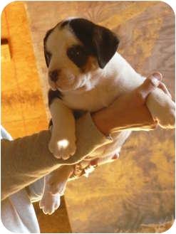 Australian Shepherd/American Bulldog Mix Puppy for adoption in Fort Valley, Georgia - Vicki