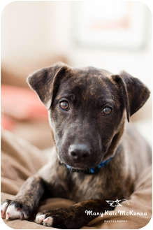 American Pit Bull Terrier Mix Puppy for adoption in Clarksburg, Maryland - Josie