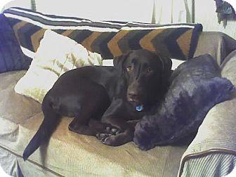 Labrador Retriever Dog for adoption in Windsor, Missouri - Cocoa