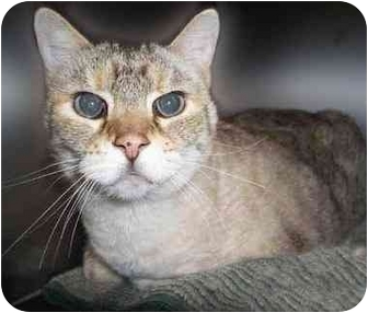 Siamese Cat for adoption in San Clemente, California - BEEBEE =Talks Sweetly to YOU!