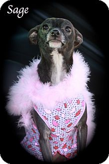 Italian Greyhound/Chihuahua Mix Dog for adoption in Wilmington, Delaware - SAGE