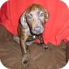 Coonhound/Hound (Unknown Type) Mix Puppy for adoption in Cincinnati, Ohio - Gertrude