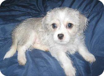 Shih Tzu/Chihuahua Mix Puppy for adoption in Chandler, Arizona - Wolfie