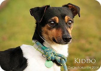 Beagle/Chihuahua Mix Dog for adoption in Portland, Oregon - Kiddo