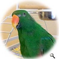 Adopt A Pet :: Rudy - Red Oak, TX
