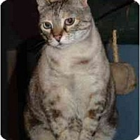Adopt A Pet :: Siacou - Pasadena, CA