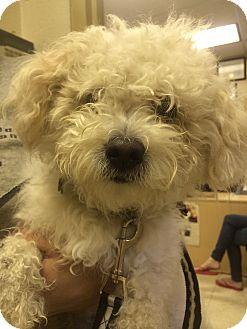 Bichon Frise/Poodle (Miniature) Mix Dog for adoption in Oak Ridge, New Jersey - Rockstar
