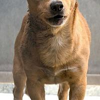 Adopt A Pet :: Kobe - Fountain Valley, CA