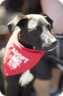 Labrador Retriever Mix Dog for adoption in Los Angeles, California - BELUGA