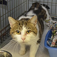 Domestic Shorthair Cat for adoption in Trenton, Missouri - Stevie