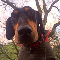 Doberman Pinscher/Hound (Unknown Type) Mix Dog for adoption in Clayton, California - Max