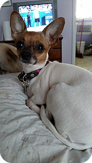 Chihuahua Mix Dog for adoption in Simi Valley, California - Rita
