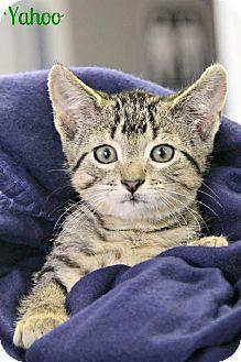 Domestic Shorthair Kitten for adoption in Cedar Rapids, Iowa - Yahoo - V