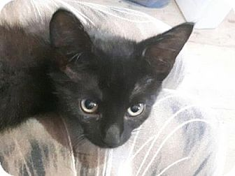 Domestic Shorthair Kitten for adoption in Simcoe, Ontario - Indigit