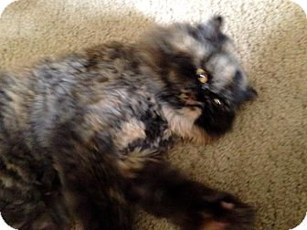 Persian Cat for adoption in Houston, Texas - Misty (declawed)