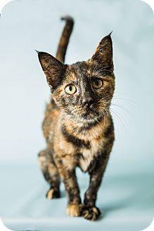 Domestic Shorthair Kitten for adoption in Hendersonville, North Carolina - Ella