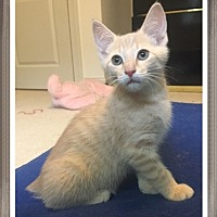 Domestic Shorthair Kitten for adoption in Mt. Prospect, Illinois - Diego