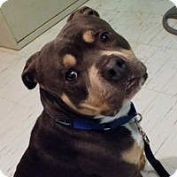 Pit Bull Terrier Mix Dog for adoption in Walden, New York - Enzo