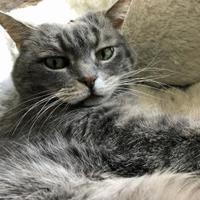 Adopt A Pet :: Celeste - Fairfax, VA