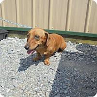 Adopt A Pet :: Culo - Springfield, TN