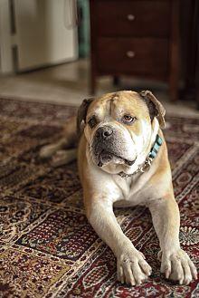 American Bulldog/English Bulldog Mix Dog for adoption in Beverly Hills, California - Otto